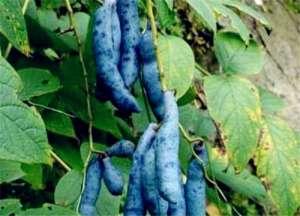 猫屎瓜种植条件有哪些?附种植技术介绍!